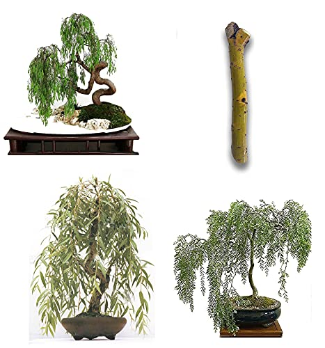 [Twigz Nursery] Large Trunk Weeping Willow Bonsai Tree Cuts- Ready to Plant Bonsai Live Tree - Fastest Growing Bonsai- Indoor/Outdoor Bonsai Trees - [3 Pack]