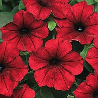 Park Seed Tidal Wave Red Velour Petunia Seeds