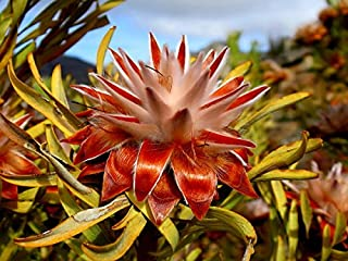 Leucadendron Rubrum * Spinning Top Conebush *3 Seeds* Rarely Seen For Sale *Limt