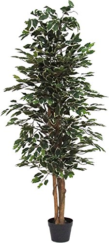 Verdevip Ficus Benjamin Variegato - Albero Artificiale Da Arredo Interno Con Tronco Vero - Alto 175 cm - Largo 65 cm
