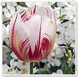 Tulpen zwiebeln,Die hellen Bio-Pflanzen sind bunt,Verschiedene Arten von magischen Blumen,-2,5zwiebelns