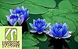 Liveseeds - Bonsai Lotus / giglio di acqua di fiori Bowl-Stagno / 5 semi freschi / Profumo Mini Blu Lotus Coltivare Difficoltà Grado: Molto Facile Uso: Indoor / Outdoor Tipo: Piante acquatiche Funzione: purificazione dell'aria