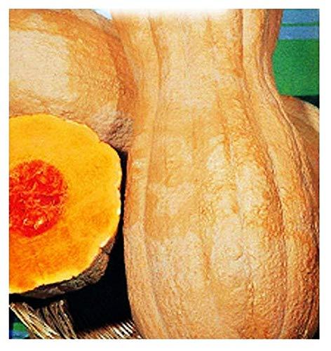 Butternut rugosa graines de citrouille - légumes - cucurbita moschata - environ 35 graines - les meilleures graines de plantes - fleurs - fruits rares - citrouilles ridées - idée cadeau originale