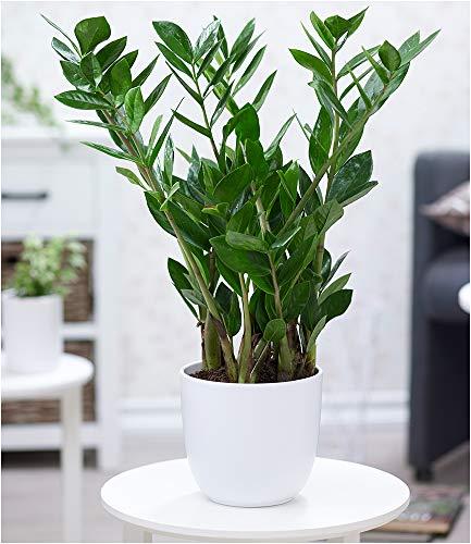 BALDUR Garten Zamioculcas ca. 40 cm hoch,1 Pflanze Glücksfeder, Zamie, Zamia Farn, Zamia Palme, Pflegeleichte Zimmerpflanze Zimmerpflanze