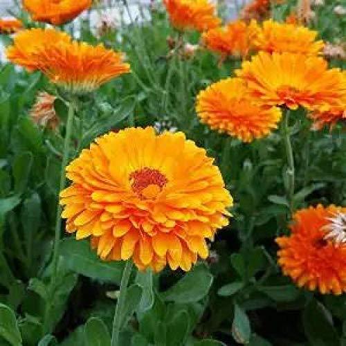 Cosmos Blumensamen Gesang Blumensamen Bunt Vier Jahreszeiten Blüte Einfach lebende Blumensamen Wildblumensamen im Freien 300 Kapseln-300 Ringelblumensamen_Bestellen Sie nach Bedarf