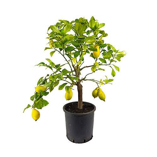 Pianta Agrumi Albero di Limone Lunario 4 Stagioni da Terrazzo