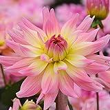 Dalias bulbos,FloracióN Larga Hermosa Y Hermosa FloracióN,Las Plantas Vivas Se Sienten Tan Lindas Flores-1,2bulbos