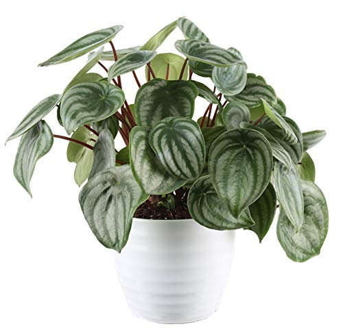 Costa Farms Peperomia Watermelon Trending Tropicals Collection Live Indoor Plant, 15-Inches Tall, Ships in White Ceramic