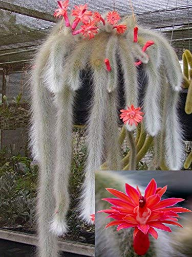 Hildewintera Colademononis * impresionante cola de mono Cactus * Flores, rojo * 10 semillas