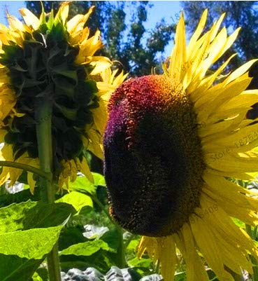 Bloom Green Co. Date limite !! 20 pcs mini bonsaï de tournesol jardin de tournesol nain de tournesol série Hauteur 40cm fleur plante, X7CDBA: Jaune