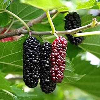 1 Starter Plant of Illinois Everbearing Mulberry Tree