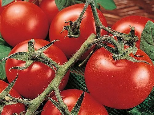 Tomate Money Maker - tomate - 50 graines