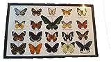 蝶の標本 20匹セ (蝶の標本 20匹セット)