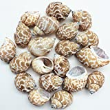 PEPPERLONELY 20PC Babylonia Spirata Hermit Crab Sea Shells, 1-1/4 Inch ~ 2-1/4 Inch