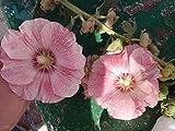 Exotic Plants Hibiscus syriacus - - 15 Semillas