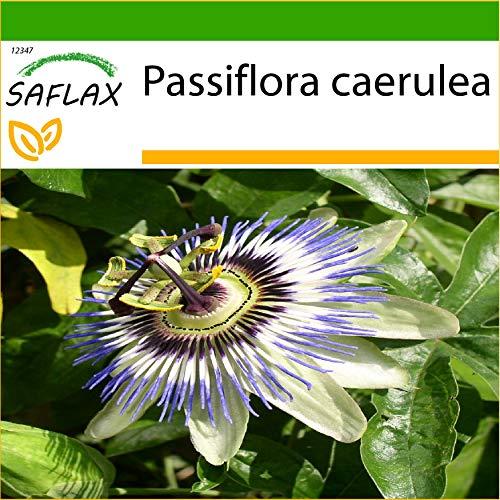 SAFLAX - Passiflore bleue - 25 graines - Avec substrat - Passiflora caerulea