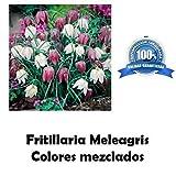 Portal Cool 1 graine bulbes de fleurs Couleurs mÃlangÃes fritillaire pintade
