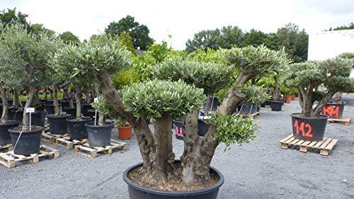 genau dieser Pon Pon 113: uriger, alter Olivenbaum als Bonsai Formgehölz, knorrige Olive winterhart