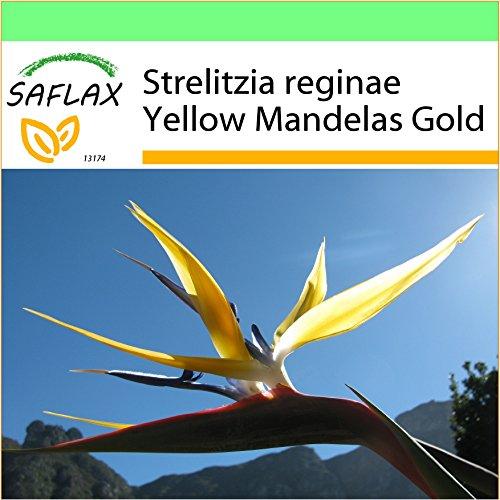 SAFLAX - Jardin dans la boîte - Oiseau de paradis jaune - Mandelas Gold - 4 graines - Strelitzia reginae Yellow