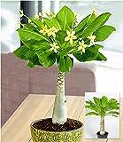 BALDUR Garten Hawaii-Palme, 1 Pflanze Zimmerpflanze blühend Brighamia insignis Zimmerpflanze