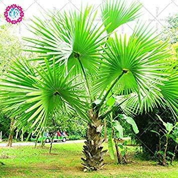 5PCS arbre Palm vrai Graines de plantes exotiques Bonsaï pot tropical plante à feuilles persistantes de fleurs d'ornement pour le jardin à la maison