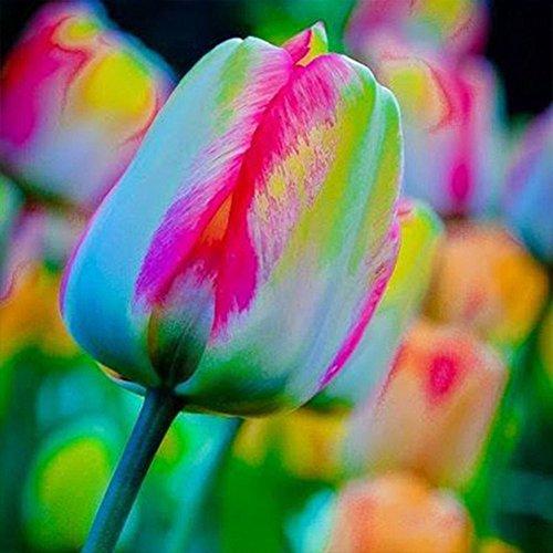 100pcs Tulipano Bulbi Semi, Speciale Arcobaleno Fiore Semi per Primavera Estate Giardino Decor
