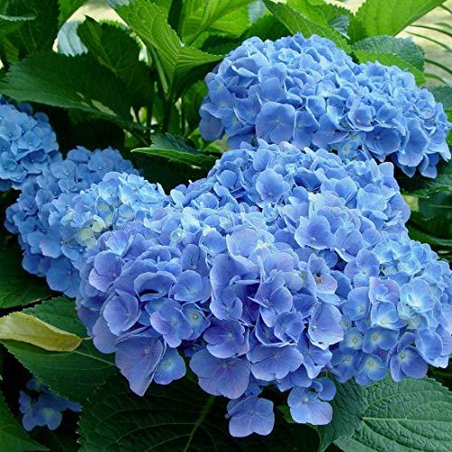 Hydrangea Macrophylla 'Blauer Prinz' -...