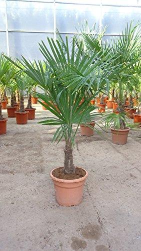 [Palmenlager] - Trachycarpus fortunei 100/120 cm/Stamm 30 cm / -17°C/Chin. Hanfpalme