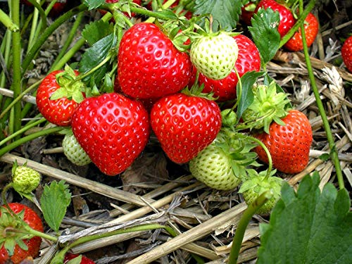 Generic Seeds: Sweet - 1 Bare Samen Samen - Mara des Bois immertragende Stroh