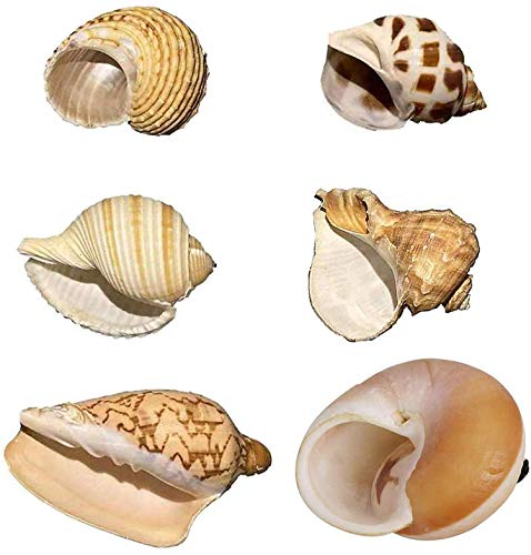 Petawi Hermit Crab Shells Large Medium XLarge Natural Growth Shells for Hermit Crab Variety Turbo Seashells Sea Conch No Painted Hermit Crab Supplies
