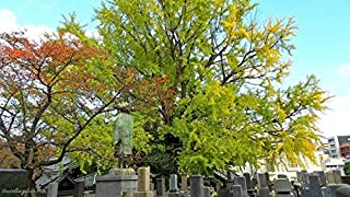 Live Ginkgo Tree Beautiful and Ancient Species Dinosaur Tree Sale! DND0010