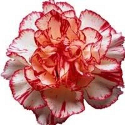 50 Avranchin Oeillet rouge et blanc Dianthus caryophyllus Graines de fleurs Chabaud