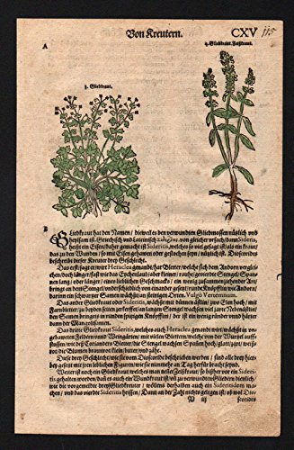 Gliedkraut Sideritis Bisamkraut herbs herbal Kräuter Kräuterbuch Lonicer