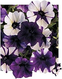 25 Pelleted Petunia Seeds Shock Wave Purple Tie Dye Trailing Petunia