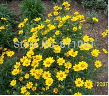 20 pcs / sac, graines Coreopsis, graines en pot, graines de fleurs, variété complète, le taux de bourgeonnement 95% LIVRAISON GRATUITE