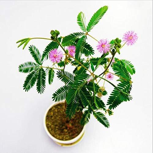 Semillas de plantas en maceta 20 piezas de semillas de bonsai árbol de mimosa, la hierba tímida Las semillas de flores de plantas para el jardín de su casa
