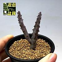 多肉植物:ガガイモ フェルニア ペンデュラ*幅3cm