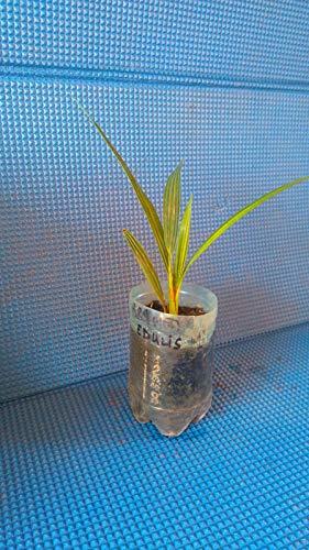 CROSO HOCH KEIMUNG Seeds Nicht NUR Pflanzen: Junge Brahea Edulis 2 bis 3-Blatt