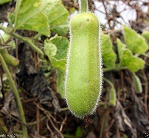 Hairy Melon Seeds - Mokwa Long (Asian Vegetable) Hairy Gourd ! (25 Seeds)
