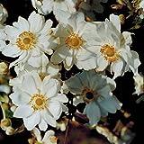 Blumixx Stauden Anemone Japonica-Hybr. 'Wirbelwind' - Herbstanemone im 0,5 Liter Topf weiß blühend