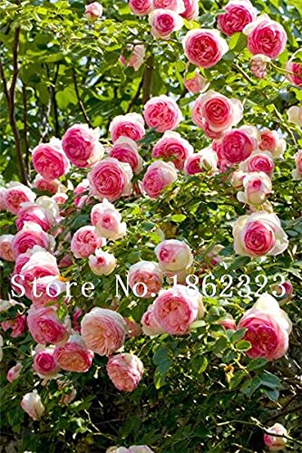 Tomeco 10 pcs Mixed Color Peony Seed Chinese Rose Tree Peony Flower Potted Plant Decoration Seed Flower Plant for Home Garden - (Color: 21)