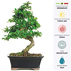 CONTENTS: Bonsai, Decorative Container (Assorted Colors & Styles), Soil, Care Instructions. SPECIES: Delicate white blossom bloom almost year round and small dark green leaves are shiny with little white dots on the surfaces which are often mistaken ...