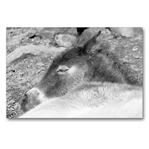 CALVENDO Premium Textil-Leinwand 90 x 60 cm Quer-Format Schlafendes Exmoor Fohlen, Leinwanddruck von Meike Bölts