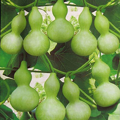 Semillas de calabaza de botella gigante 5+ Lagenaria Siceraria, Dipper Gourd, Aka Calabash Seeds Vegetables Vine for Bonsai Garden Outdoor Yard Planting