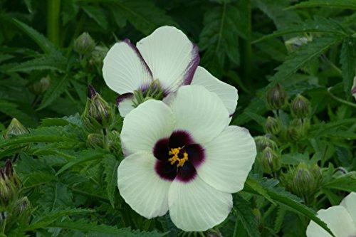 Großblütige Stundenblume Hibiscus cannabinus 10 Samen