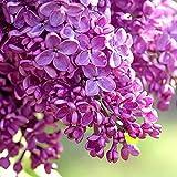 200 piezas de semillas de lila flores mixtas plantación de colores brillantes con otros árboles arbustos especies de hoja perenne la mayoría de ellas como ornamentales