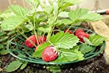 komplekt-plastic 6 Pack Strawberry Supports - Easy to Use Strawberry Plant Support with 3 Sturdy Legs - Protection of Strawberry Plants from Mold, Rot and Dirt