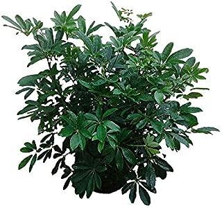 PlantVine Schefflera arboricola 'Dwarf', Umbrella Tree - Large - 8-10 Inch Pot (3 Gallon), Live Plant