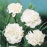 発芽種子:カーネーションの花の種 - 白 - バルク