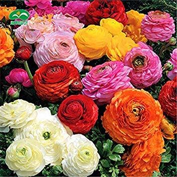 13: 20 samen/tasche 20 farben für wählte ranunkel blumensamen persian buttercup samen topf blume pflanze garten bonsai diy heimpflanze